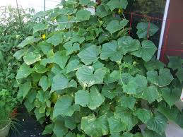 captive roots growing cucumbers in containers