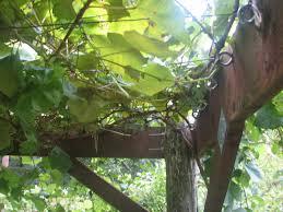 cedar and wire grape arbor general fruit growing growing fruit