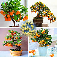 Discount Outdoor Planters by 40 Bag Bonsai Orange Tree Seeds Organic Fruit Tree Seeds For