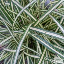 buy ornamental grasses garden plants for sale from jacksons nurseries