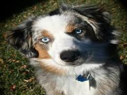 australian shepherd male names finn maccool male puppy names petmd