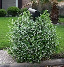 Which Jasmine Plant Is Most Fragrant - creating a fragrant year round garden in houston