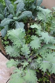 growing a winter vegetable garden laguna dirt