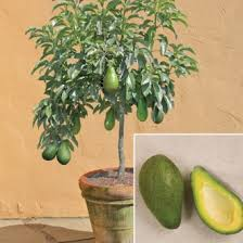 how to grow avocados in your garden or container