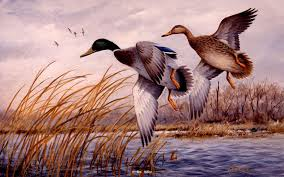dropping in mallards original in private collection waterfowl paintings original waterfowl paintings by