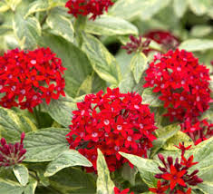 pentas flower stripes pentas southern living plants