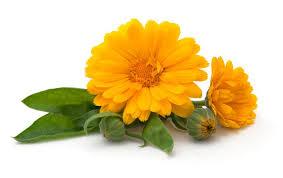 Calendula Flowers Buy Calendula Tea Marigold Tea Benefits Preparation Side