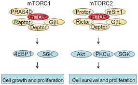 cancers free full text targeting the mammalian target of