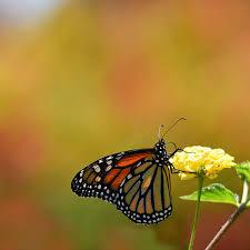 monarch butterfly habitat exchange environmental defense fund