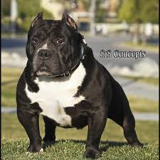 land of giants american pitbull terriers gotti pitbulls gotti bullies bloodline history
