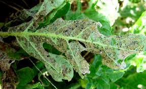Viral Disease In Plants Page 489 Zucchini Courgette Infonet Biovision Home