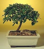 flowering brush cherry bonsai trees eugenia myrtifolia