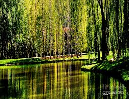 weeping willow tree on lakeside photograph by carol f