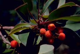 What Fruit Trees Grow In Texas - file texas madrone or marina strawberry tree plant fruits arbutus