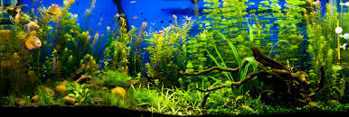 Live Plants In Community Aquariums by Can Angelfish And Discus Live Together In The Same Tank