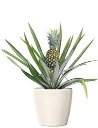 buy pineapple fruit plant small wholesale pineapple bromeliad