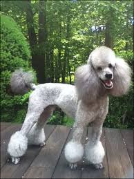 pictures of poodle haircuts poodle haircuts styles hair cuts idea hair cuts idea