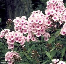 phlox flower the 25 best phlox flower photos ideas on creeping
