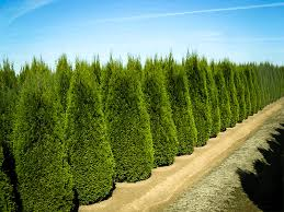 Emerald Emerald Green Arborvitae For Sale The Tree Center