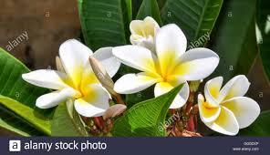 silky white and yellow frangipani tropical plant flowers with