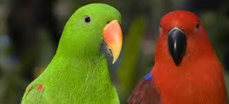 vital l full spectrum light for birds basic information sheet eclectus parrot lafebervet