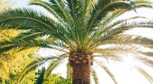 palms for palm sunday purchase a shortage of palm leaves for this coming palm sunday masses wwl