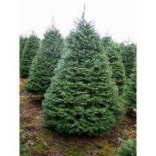 noble fir tree rudys trees