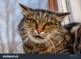 ferocious evil cat on windowsill on stock photo 605745164