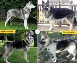 belgian sheepdog vs german shepherd eleven dog breeds like the german shepherd german shepherd all