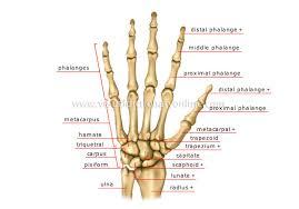 Skeletal Picture Of Foot Human Being Anatomy Skeleton Hand Image Visual