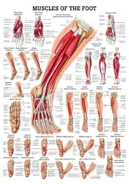 Human Anatomy Anterior Muscles Of The Foot Laminated Anatomy Chart Muscles Legs And
