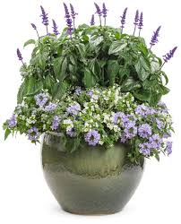 Plants That Need Low Light by Snowstorm Giant Snowflake Bacopa Sutera Cordata Proven Winners