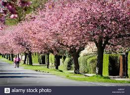 helensburgh cherry blossom stock photos helensburgh cherry