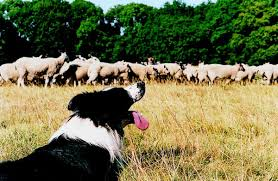 australian shepherd herding sheep how to teach a dog to herd cattle pets
