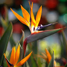 birds of paradise flowers bird of paradise plant for sale fast growing trees