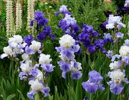 world of irises the blue iris garden planting a monochromatic