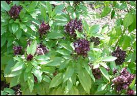 edible landscaping basil varieties for containers beds and