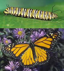 transformations which caterpillar becomes which butterfly summer
