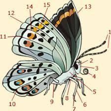 butterfly anatomy diagram info on butterflies anatomy