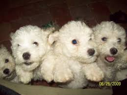bichon frise dog breeders bichon frise for sale petsale inc
