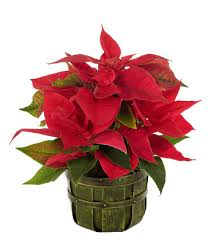 poinsettia delivery send poinsettias fromyouflowers
