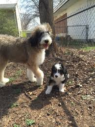 Do Cockapoo Dogs Shed A Lot by Bernedoodle Bernese Mountain Dogs X Poodles All The Cute Looks