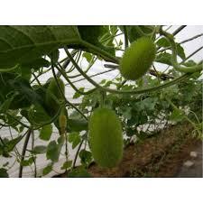 cucumber ornamental 100g approx 17 000 seeds seedarea