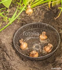 planting daffodil bulbs in autumn