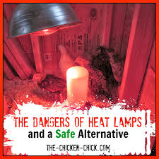 the chicken the dangers of brooder heat lamps u0026 a safe