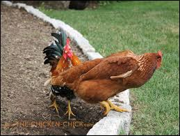 the chicken when will a hen begin laying eggs watch for