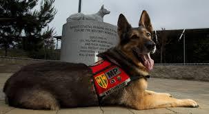 belgian shepherd navy seals cairo u0027s role in bin laden takedown helps war dogs
