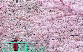 6 places to see the cherry blossoms in japan this spring minus the