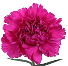 bulk carnations s day bulk tinted carnations valentines day flower delivery