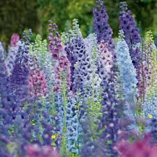 25 giant delphinium magic fountains mix flower seeds mix